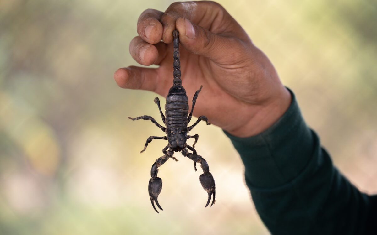 Man holding a black scorpion